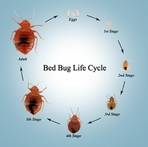 Normal 1468802140 Bed Bug
